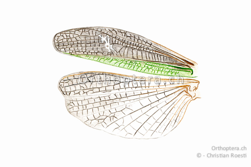 Orthoptera.ch - Stenobothrus lineatus
