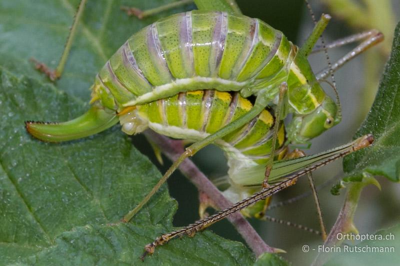 Einsatz der Cerci bei der Paarung einer Langfühlerschrecke. Das Männchen (unten) klammert das Weibchen mit den Cerci in einer dafür vorgesehenen Grube an der Basis des Ovipositors fest (Schlüssel-Schloss-Prinzip).