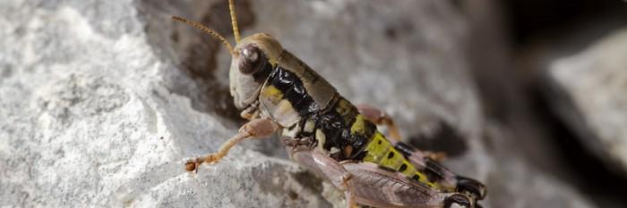 Auf Heuschrecken-Fotosafari in Nordgriechenland 2011