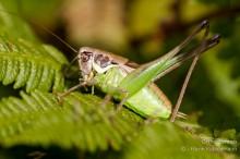 Pholidoptera littoralis insubrica