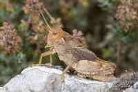 Revision of the genus Prionotropis