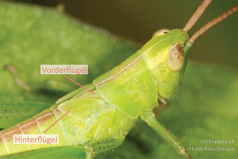 Nymphe von Mecostethus parapleurus. Der Hinterflügel liegt vor dem Vorderflügel.