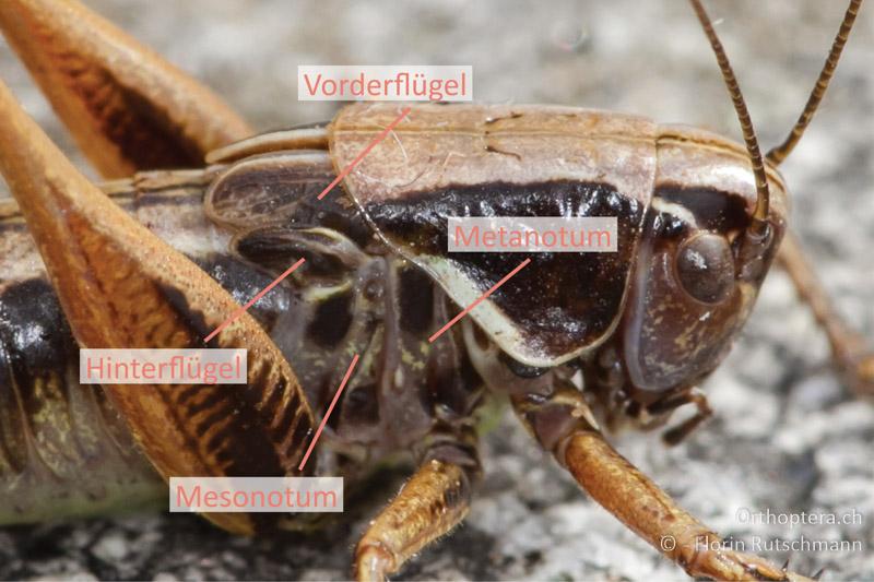 Letztes Nymphenstadium von Metrioptrera saussuriana kurz vor der Imaginalhäutung. Die Netzaderung ist im Vorderflügel bereits angedeutet.