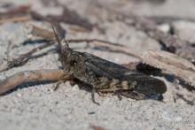 Bryodemella tuberculata