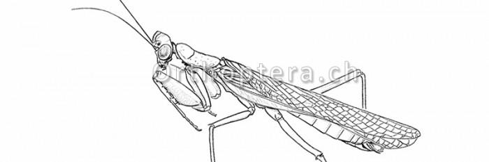 Zeichnungen anderer Insekten