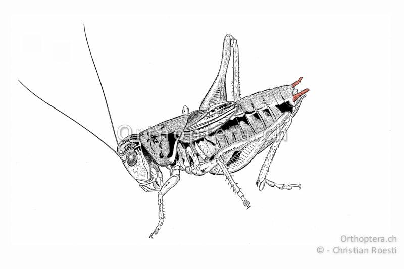 Lage der Cerci bei einem Männchen einer Langfühlerschrecke.