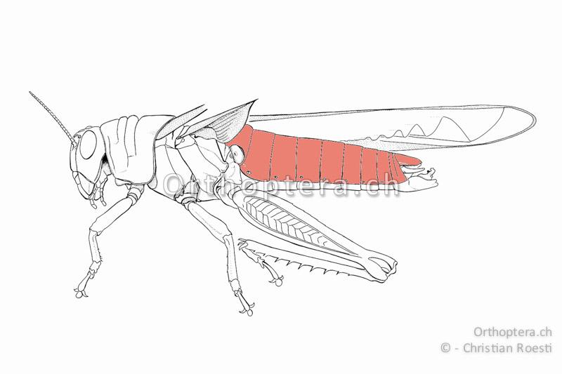 Rückensegmente von Anacridium aegyptium. Im ersten Tergum befindet sich die ovale Ohröffnung. Das letzte, horizontale Tergum ist der Epiprokt oder das 11. Rückensegment.
