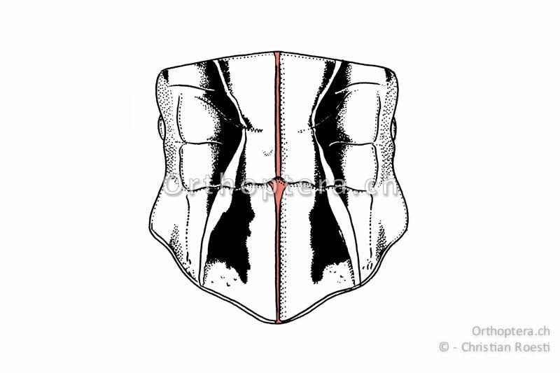 Halsschild mit Halsschild-Mittelkiel von oben betrachtet.