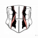 Halsschild mit Halsschild-Seitenkielen von oben betrachtet.