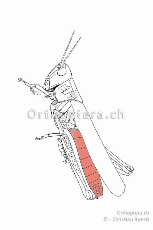 Abdomen einer Kurzfühlerschrecke