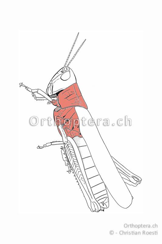 Brustabschnitt einer Kurzfühlerschecke. Die hinteren Teile sind durch die Vorderflügel verdeckt.