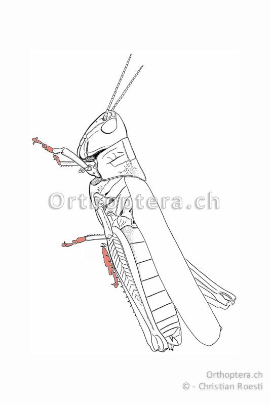 Heuschrecken haben sechs Beine und sechs Füsse.