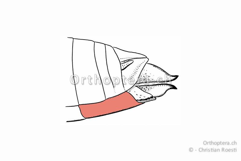 Hinterleibsende mit Subgenitalplatte einer weiblichen Kurzfühlerschrecke von der Seite.