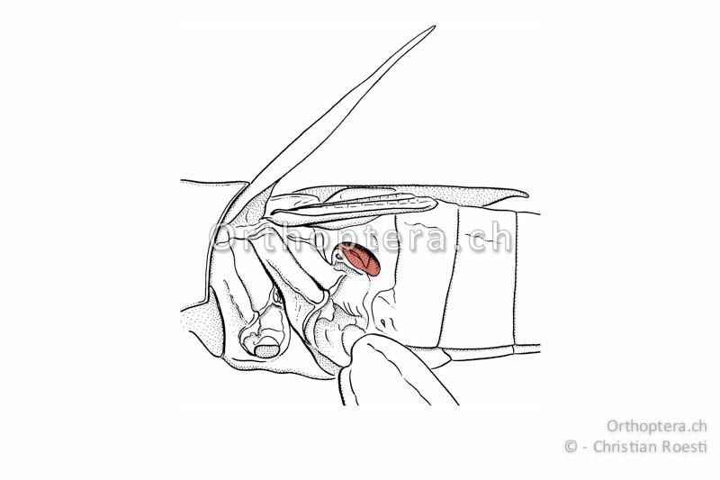 Gehöröffnung im ersten Rückensegment einer Kurzfühlerschrecke.