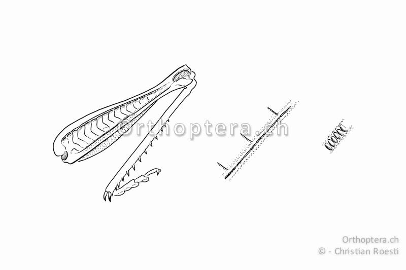 Schrillleiste von Chorthippus vagans. Sie liegt bei Kurzfühlerschrecken auf der Innenseite beider Hinterschenkel.