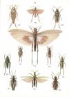 Chopard_1981_Atlas_des_aptérygotes_et_orthoptéroides_de_France-2.jpg