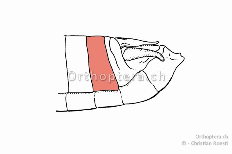 8. Tergum von Eyprepocnemis plorans. Das 9. und 10. Rückensegment sind bei Kurzfühlerschrecken an der Basis verwachsen.