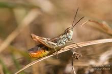 Chorthippus mollis ignifer
