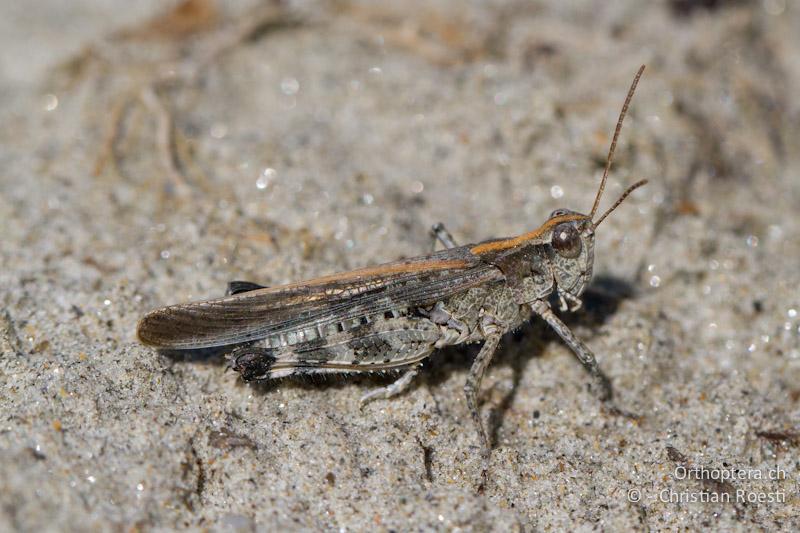 Epacromius tergestinus