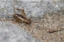 Pteronemobius lineolatus