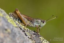 Gomphocerus sibiricus