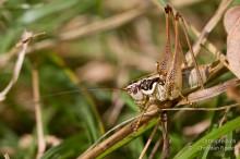 Pachytrachis striolatus