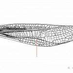 Schrillkante von Stenobothrus lineatus. Die Schrillkante ist bei den Grashüpfern die Radialader.