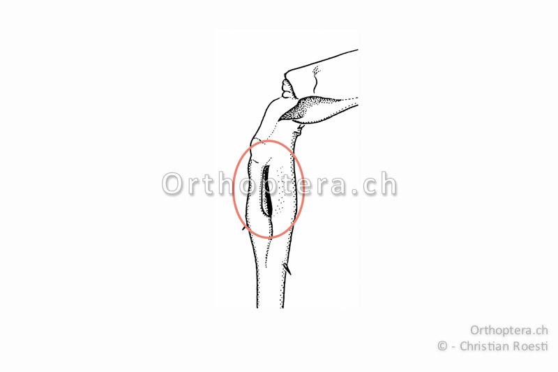 Gehöröffnung an der Basis der Vorderschiene einer Langfühlerschrecke.