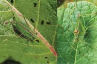 Isophya bucovinensis, a new bush-cricket from Romania